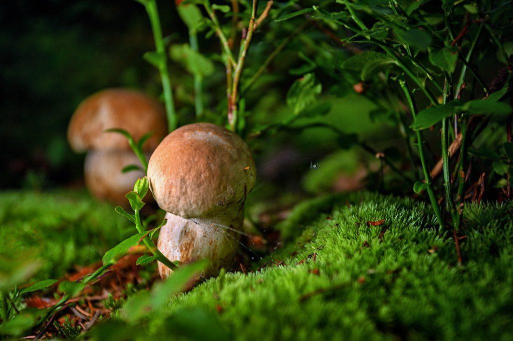 Білі гриби (ілюстративне фото)